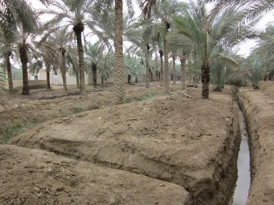 نتیجه تصویری برای شرایط کاشت خرما در ایران